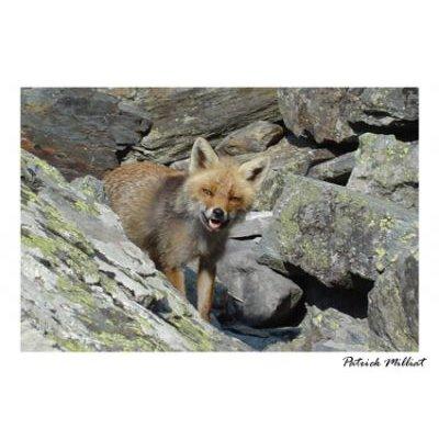 Carte postale Le renard Vulpes vulpes en vanoise