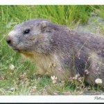 Carte postale la marmotte marmota marmota, Parc National de la Vanoise, Savoie