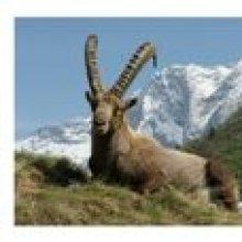 Carte postale le bouquetin Capra Ibex en vanoise